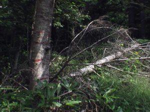 滝への道は倒木でふさがれていた