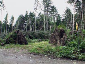根こそぎ倒れる木