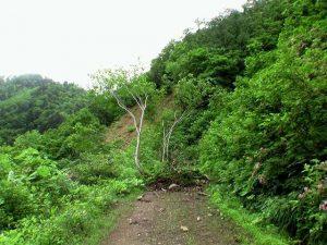 林道に落ちた木