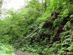 またまた崩れ落ちた木