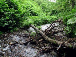倒木がたくさん