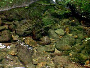 新見の沢川の水