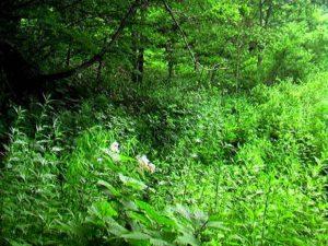 遊歩道は薮に覆われる