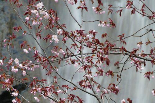 桜と三味線滝